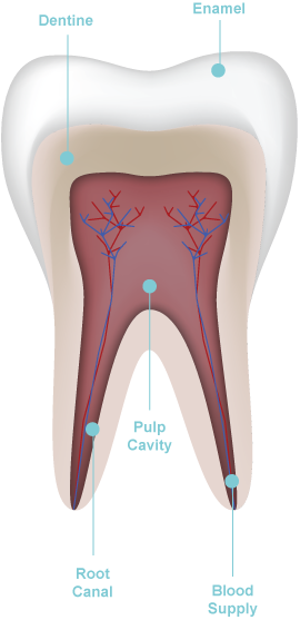 diagram of root canal